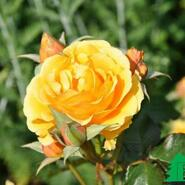 Роза флорибунда Эмбер Куин