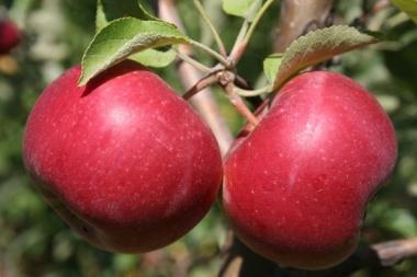 Яблоня Энтерпрайз (осеннее)