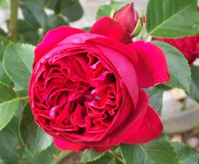 Роза Эрик Таберли (шраб)