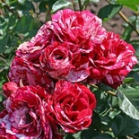 Роза флорибунда-спрей Эроу Фолиз