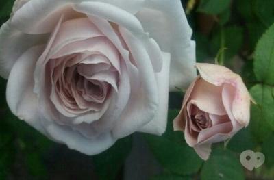 Роза плетистая Эш Венздей