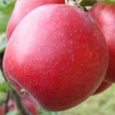 Яблоня Эвелина (осеннее)