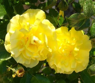 Роза миниатюрная Желтая Кукла