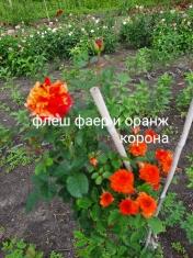 Роза штамбовая Флеш Фаер