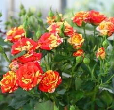 Роза бордюрная Файер Флеш