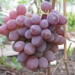 Виноград Фавор