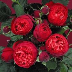 Роза пионовидная Ред Пиано