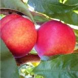Нектарин 'Фэнтези'(США)\Prunus persica var. nectarina 'Fantasy'