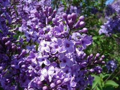 Фиолетовая пестролистная сирень