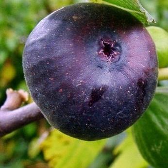 Инжир Фиолетовый