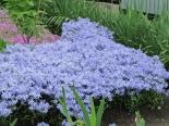 Флокс шиловидный голубой