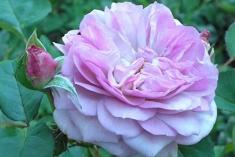 Роза шраб Флоренс