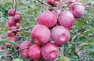 Яблоня Флорина (Франция)