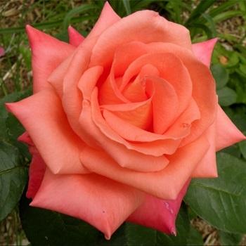 Роза чайно-гибридная Фольклор\Folklor