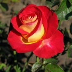 Роза чайно-гибридная Френдшип (Friendship)
