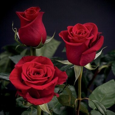 Роза чайно-гибридная Фридом