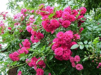 Роза почвопокровная Экцельза