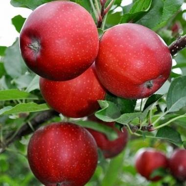 Яблоня Гала Галакси (Новая Зеландия) (осеннее)