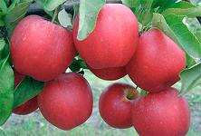 Яблоня Гала (Новая Зеландия) (осеннее)
