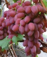 Виноград Гелиос