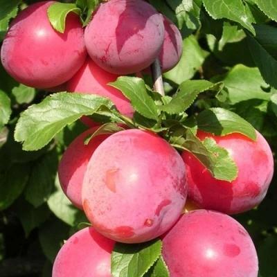 Гибрид абрикос-алыча Бирикокколо Сусинкоко