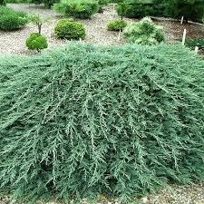 Можжевельник горизонтальный Глейсер/Juniperus horizontalis Gleiser
