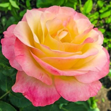 Роза чайно-гибридная Глория Дей\Gloria Dei