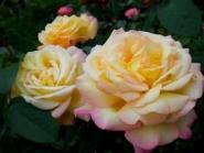 Роза плетистая Глория Клайминг/Gloria Climbing (контейнер 2л)