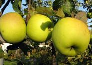 Яблоня Голд Крым ,осеннее