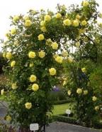 Роза плетистая Голден Гейт/GoldenGate