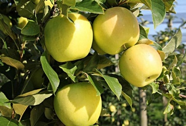 Яблоня Голден Гибсон Смути (зимнее)