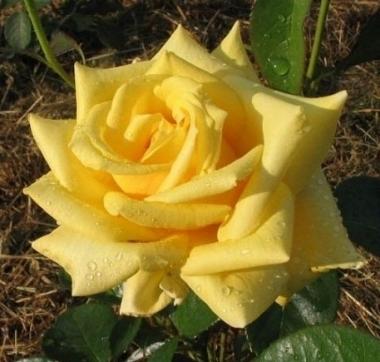 Роза чайно-гибридная Голден Медальон