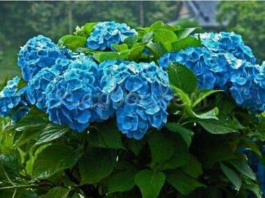 Гортензия крупнолистная  Нико Блю Nikko Blue