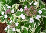 Гортензия вариегатная Miranda variegata