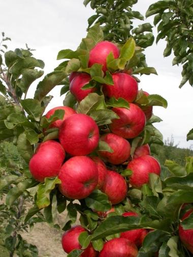 Яблоня колоновидная Готика