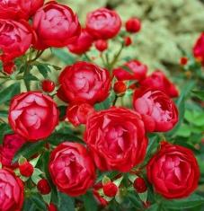 Роза миниатюрная Гранатовый браслет\Garnet Bracelet