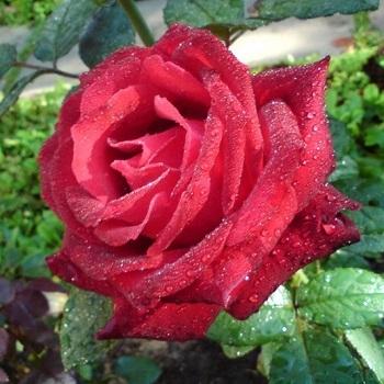Роза чайно-гибридная Гранд Гала