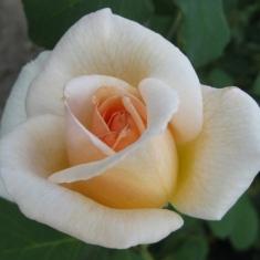 Роза плетистая Гранд Могул\Grand Mogul