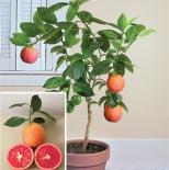 Грейпфрут комнатный