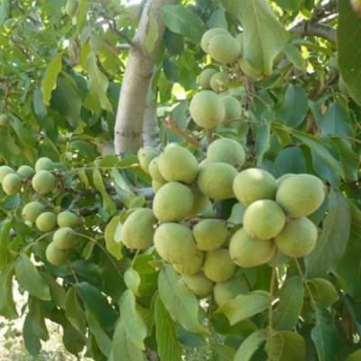 Грецкий орех Tulare (Тулар) США