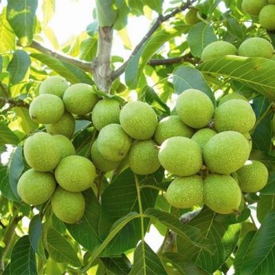 Грецкий орех среднеплодный Черновицкий 1
