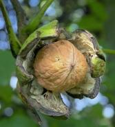 Грецкий орех крупноплодный Буковинский 2