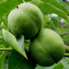 Грецкий орех Прикарпатский