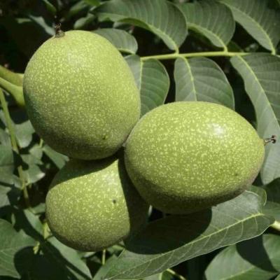 Грецкий орех среднеплодный Буковинский 1