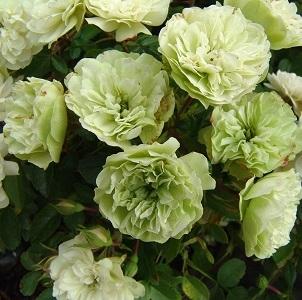 Роза миниатюрная Грин айс\Green Ice