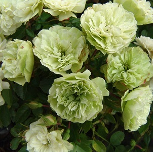"""Роза миниатюрная """"Грин айс""""\""""Green Ice"""""""