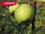 """Яблоня """"Грин Схем"""""""