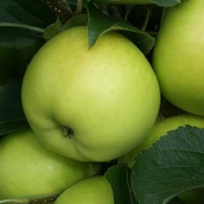 Яблоня Гринсливз (осеннее)