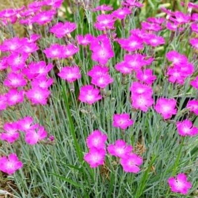 Гвоздика миртинервиус почвопокровная травянка