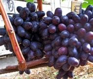 Виноград Хаджи Мурад